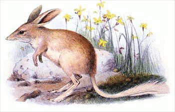 Bilby clipart #19, Download drawings