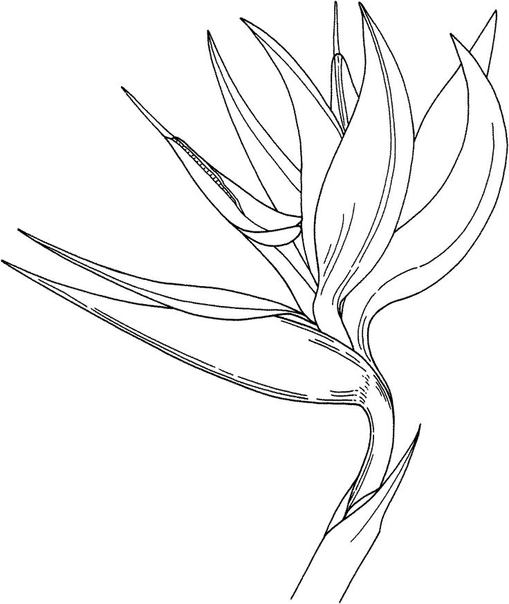 Bird Of Paradise clipart #1, Download drawings
