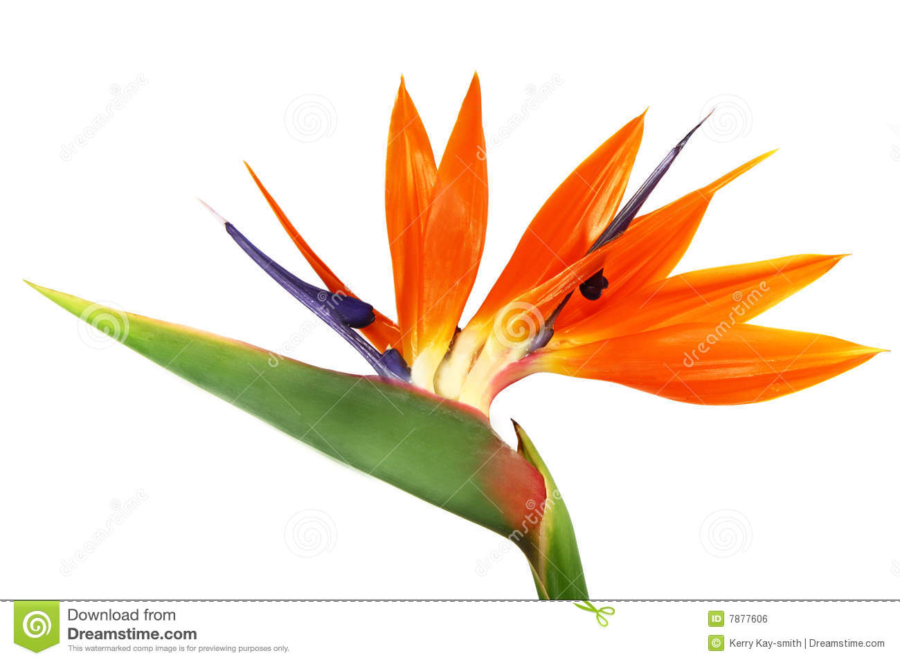 Bird Of Paradise clipart #5, Download drawings