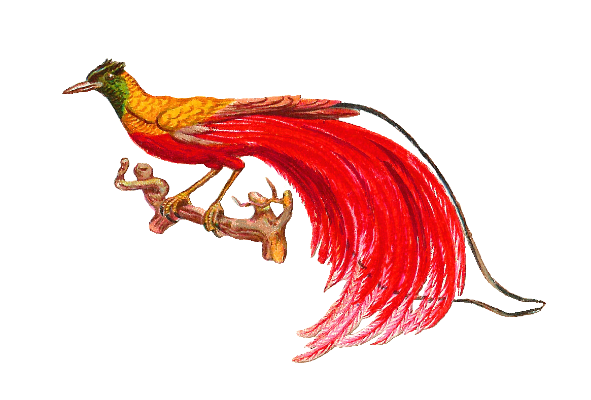 Bird Of Paradise clipart #18, Download drawings