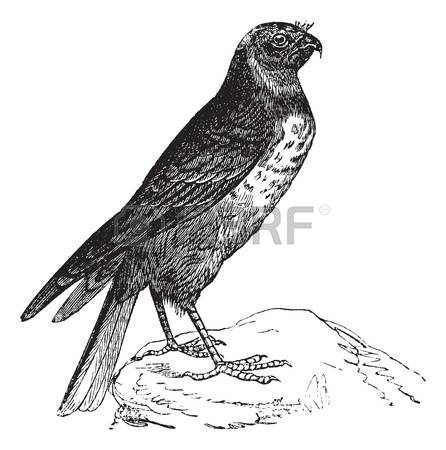 Bird Of Prey clipart #3, Download drawings