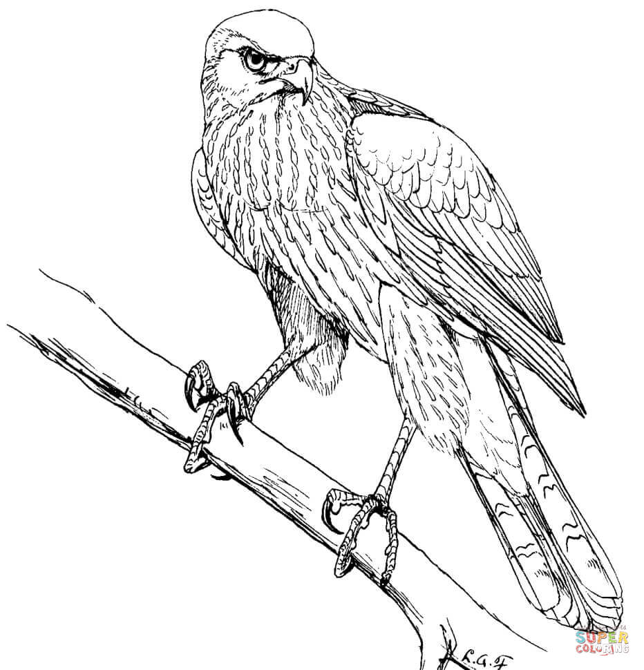 Cooper's Hawk coloring #4, Download drawings