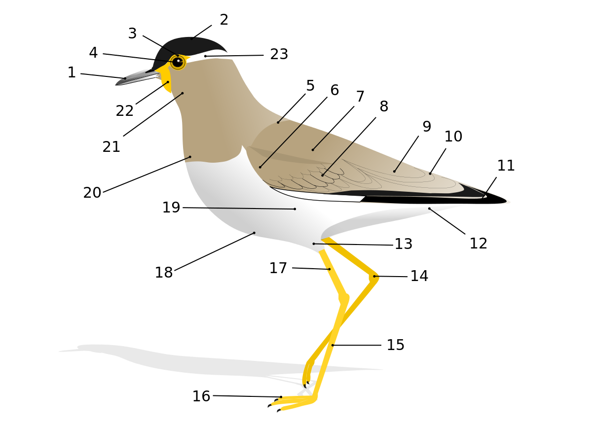 White-eared Warbler svg #14, Download drawings
