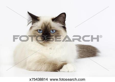 Birman Cat clipart #9, Download drawings