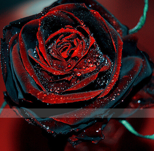 Black Rose coloring #6, Download drawings