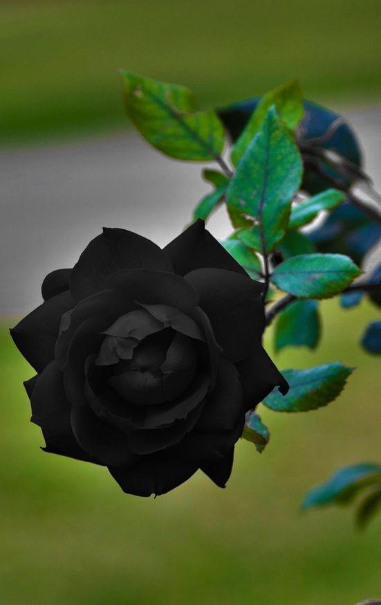 Black Rose coloring #19, Download drawings