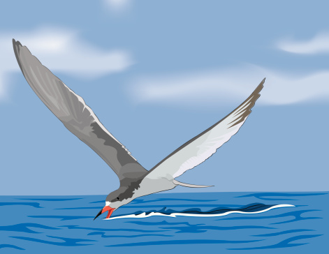 Black Skimmer clipart #17, Download drawings