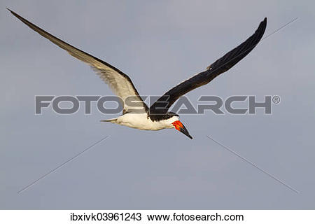 Black Skimmer clipart #7, Download drawings