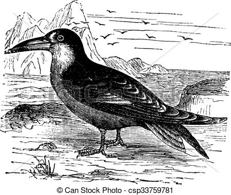 Black Skimmer clipart #10, Download drawings