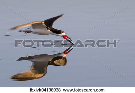 Black Skimmer clipart #15, Download drawings