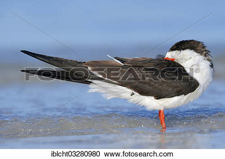 Black Skimmer clipart #19, Download drawings