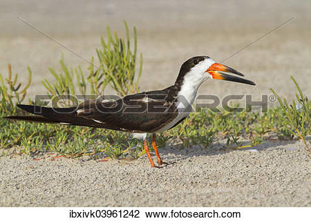 Black Skimmer clipart #13, Download drawings