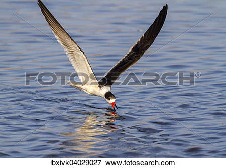 Black Skimmer clipart #12, Download drawings