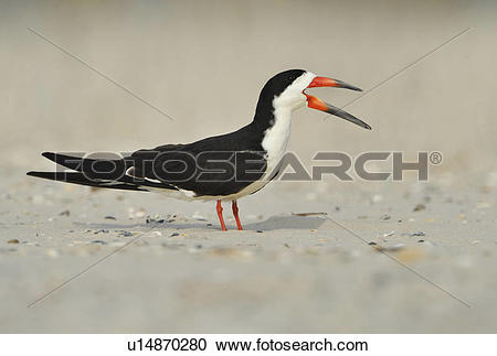 Black Skimmer clipart #20, Download drawings
