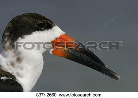 Black Skimmer clipart #14, Download drawings