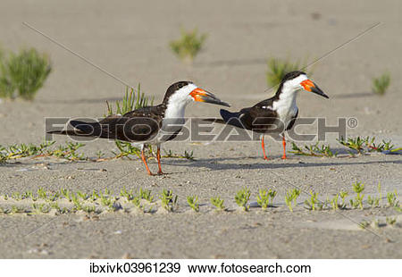Black Skimmer clipart #16, Download drawings