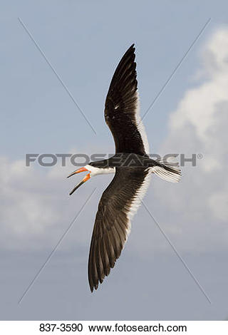 Black Skimmer clipart #18, Download drawings