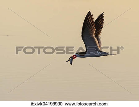 Black Skimmer clipart #5, Download drawings