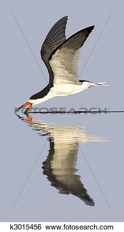 Black Skimmer clipart #4, Download drawings