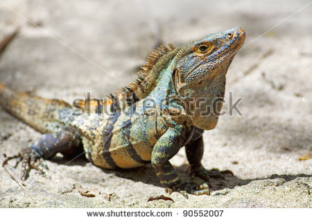 Black Spiny Tailed Iguana clipart #17, Download drawings