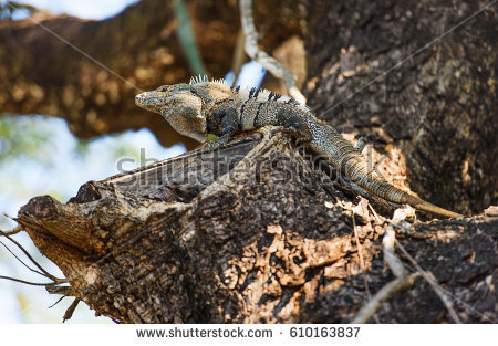 Black Spiny Tailed Iguana clipart #10, Download drawings