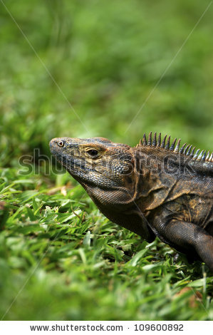 Black Spiny Tailed Iguana clipart #3, Download drawings