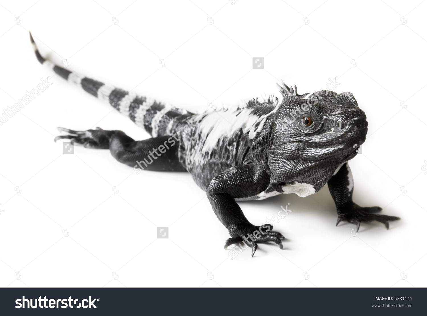 Black Spiny Tailed Iguana clipart #5, Download drawings