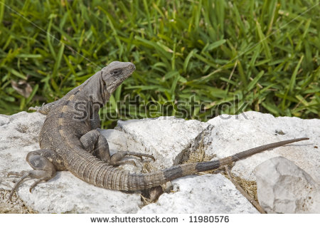 Black Spiny Tailed Iguana clipart #1, Download drawings