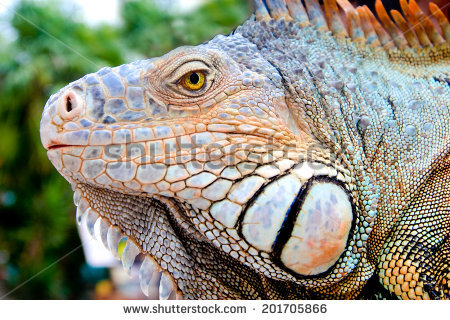 Black Spiny Tailed Iguana clipart #4, Download drawings