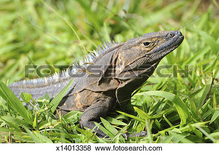 Black Spiny Tailed Iguana clipart #20, Download drawings