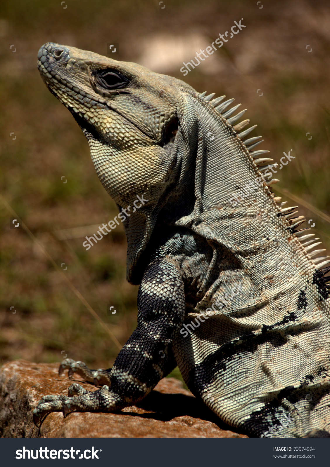 Black Spiny Tailed Iguana clipart #2, Download drawings