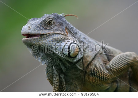Black Spiny Tailed Iguana clipart #19, Download drawings