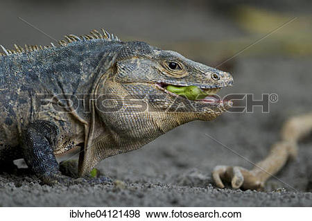 Black Spiny Tailed Iguana clipart #18, Download drawings