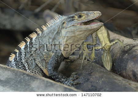 Black Spiny Tailed Iguana clipart #13, Download drawings