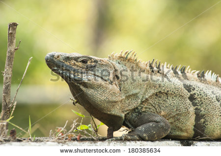 Black Spiny Tailed Iguana clipart #12, Download drawings