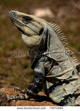 Black Spiny Tailed Iguana clipart #15, Download drawings