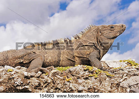 Black Spiny Tailed Iguana clipart #16, Download drawings