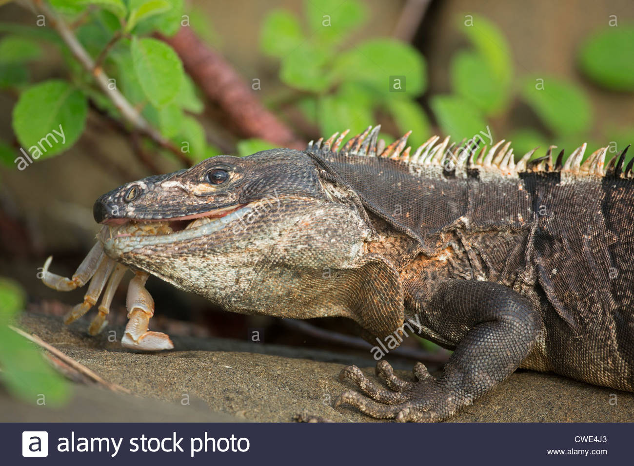 Black Spiny Tailed Iguana svg #16, Download drawings