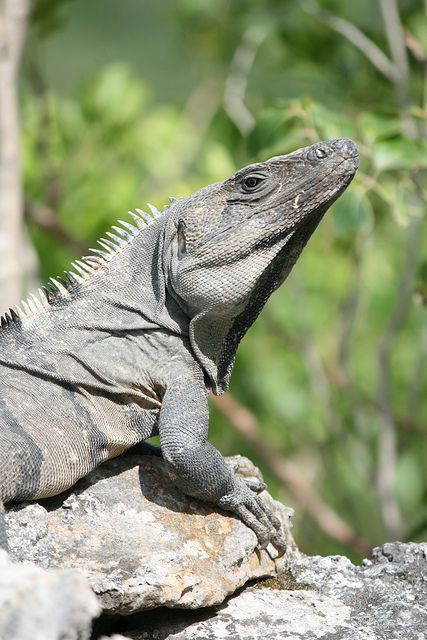 Black Spiny Tailed Iguana svg #8, Download drawings