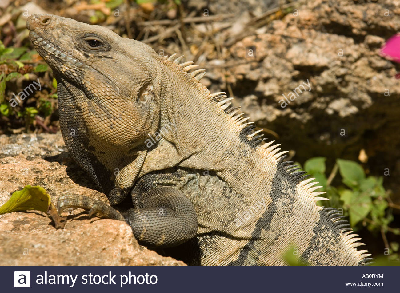 Black Spiny Tailed Iguana svg #13, Download drawings