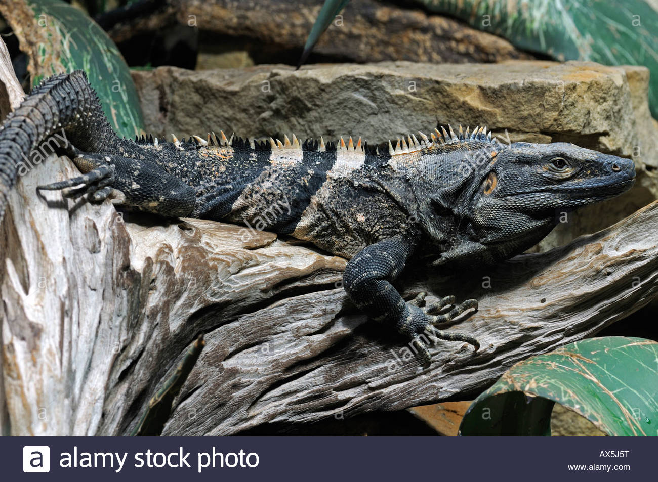 Black Spiny Tailed Iguana svg #12, Download drawings