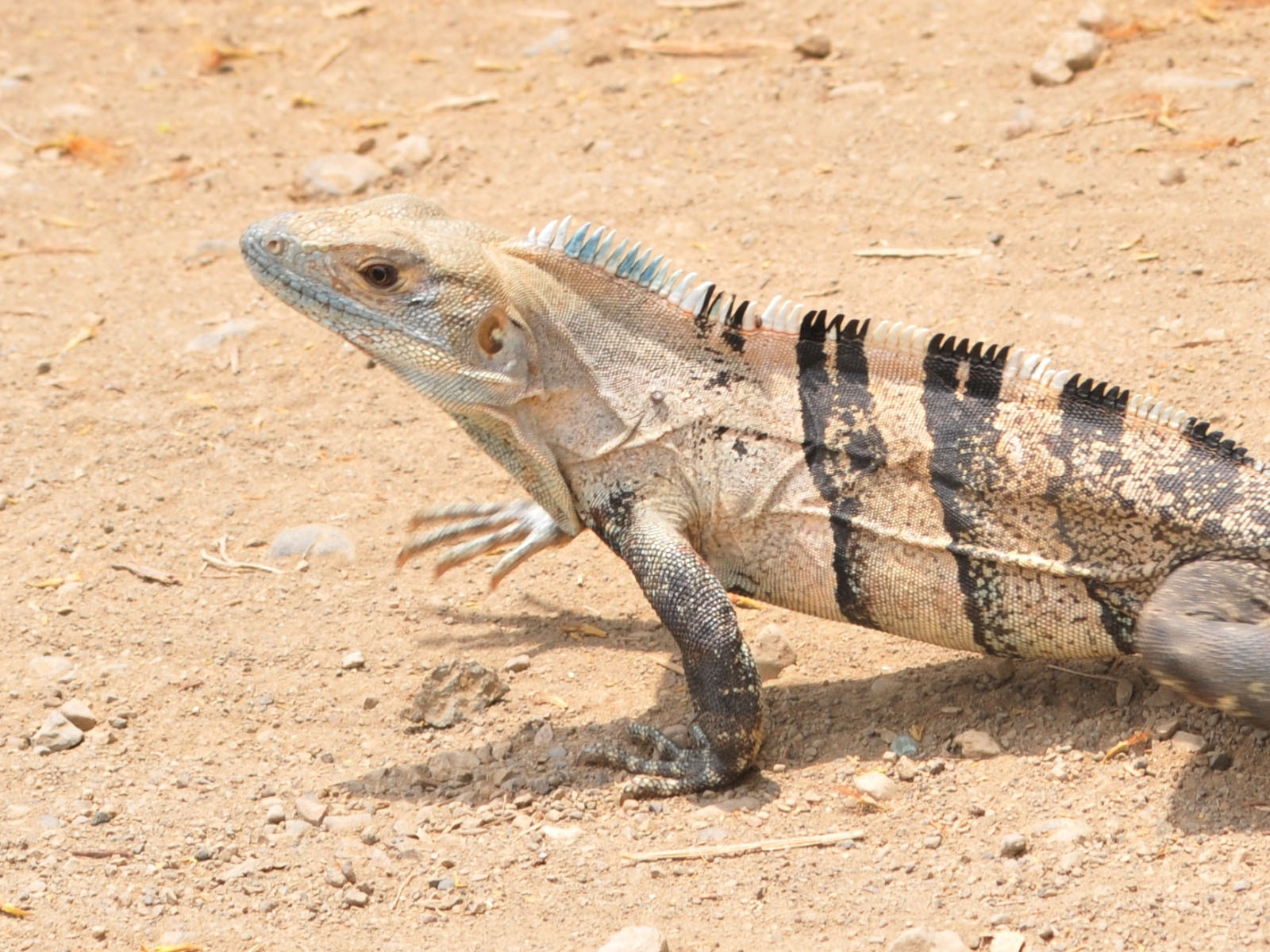 Black Spiny Tailed Iguana svg #9, Download drawings