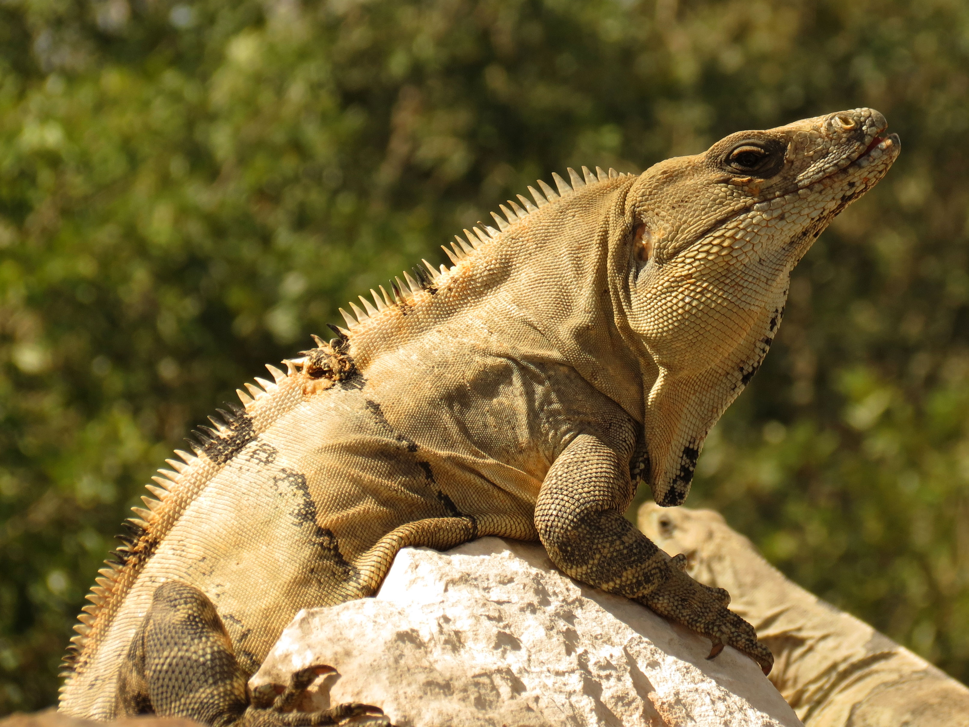 Black Spiny Tailed Iguana svg #7, Download drawings