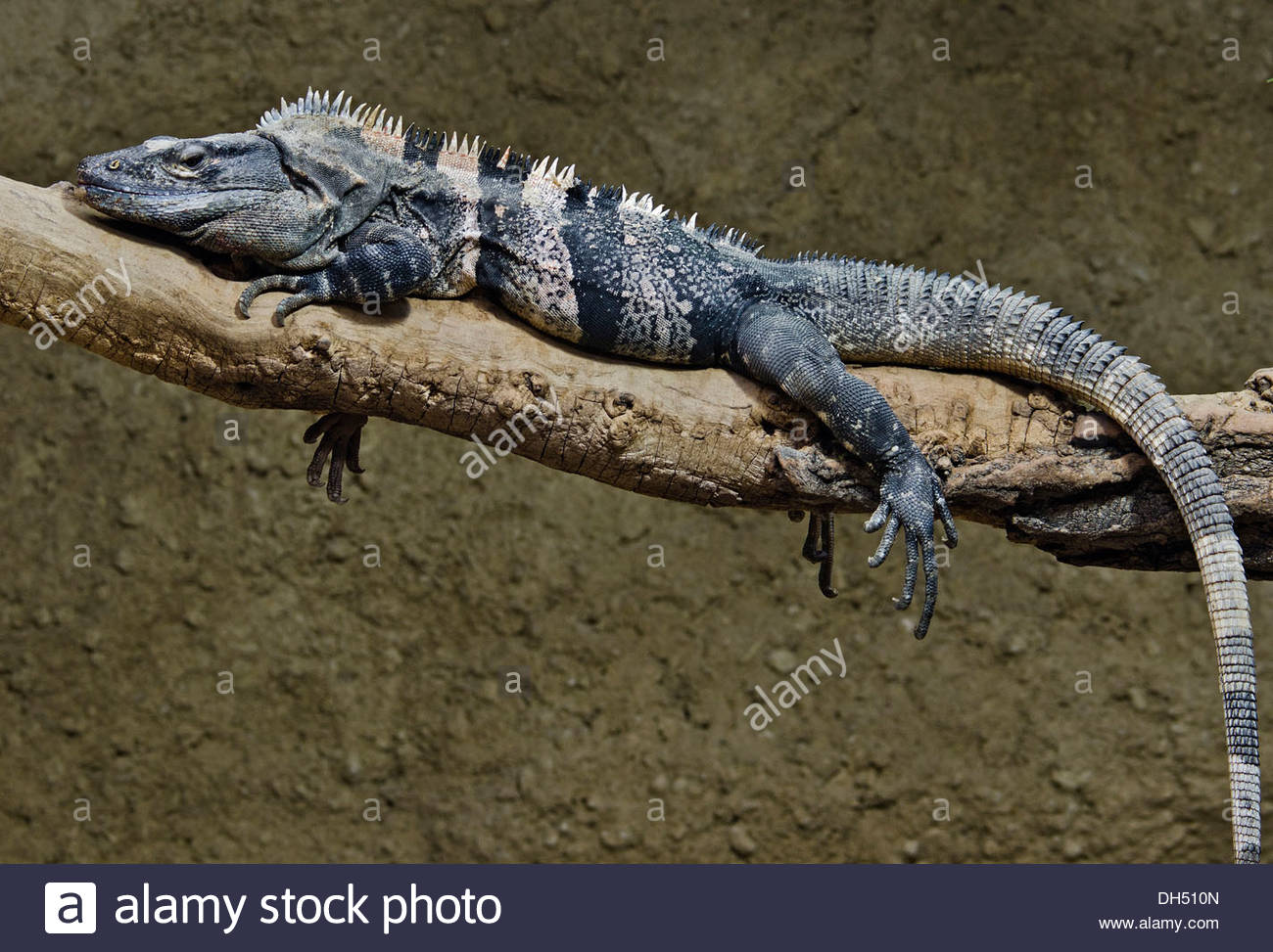 Black Spiny Tailed Iguana svg #15, Download drawings
