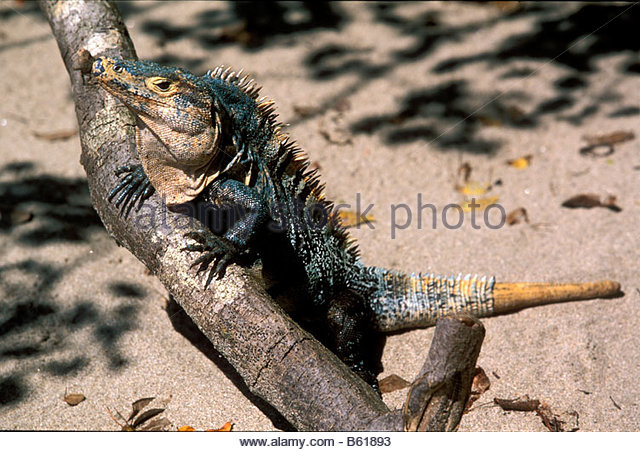 Black Spiny Tailed Iguana svg #17, Download drawings