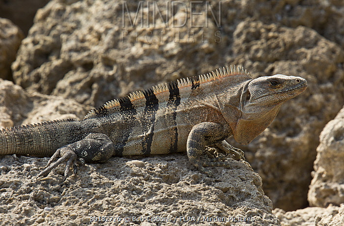 Black Spiny Tailed Iguana svg #6, Download drawings