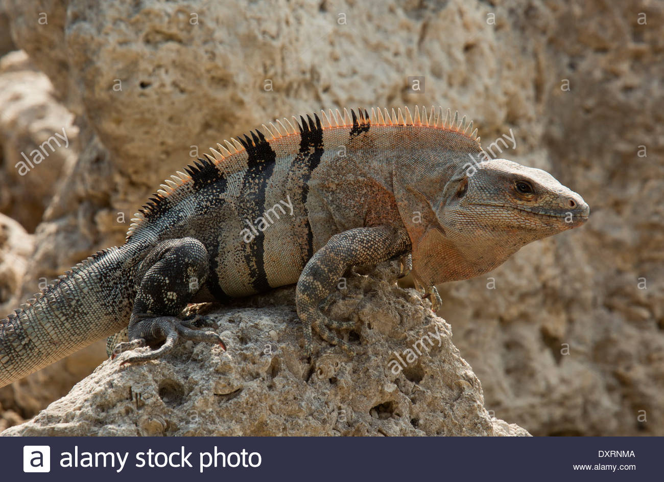 Black Spiny Tailed Iguana svg #14, Download drawings