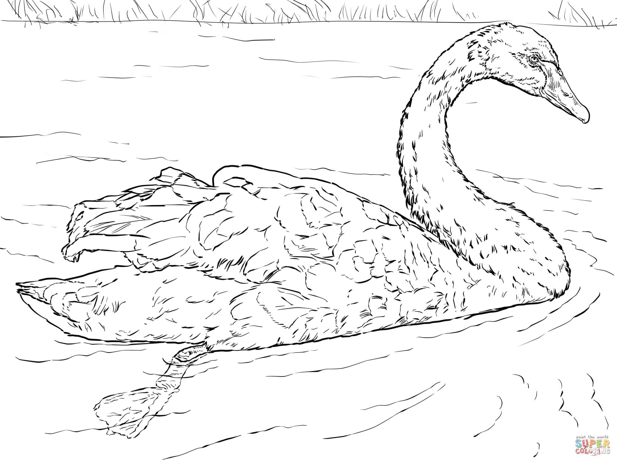 Whooper Swan coloring #14, Download drawings