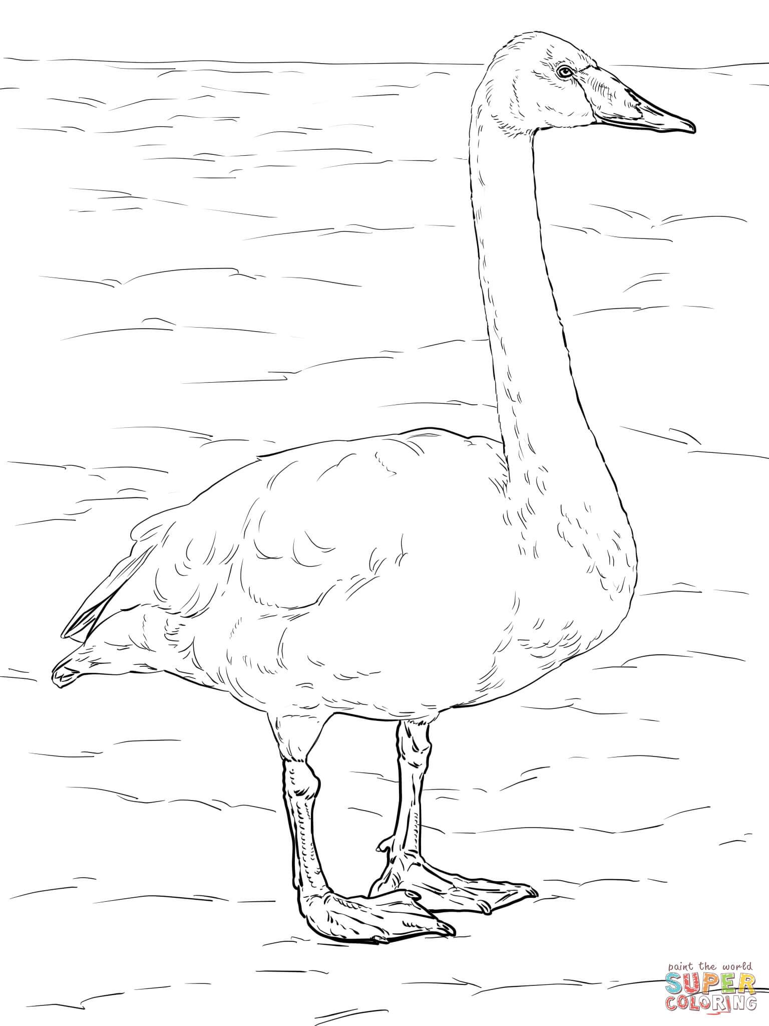 Whooper Swan coloring #3, Download drawings