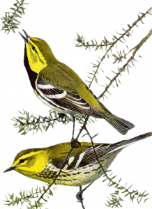 Swainson's Warbler clipart #11, Download drawings